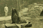 Oroszlánfóka a budapesti állatkertben, 1895 (Fotó: OSZK)