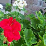 Gardening 2010, Part Two - 101_3157.JPG