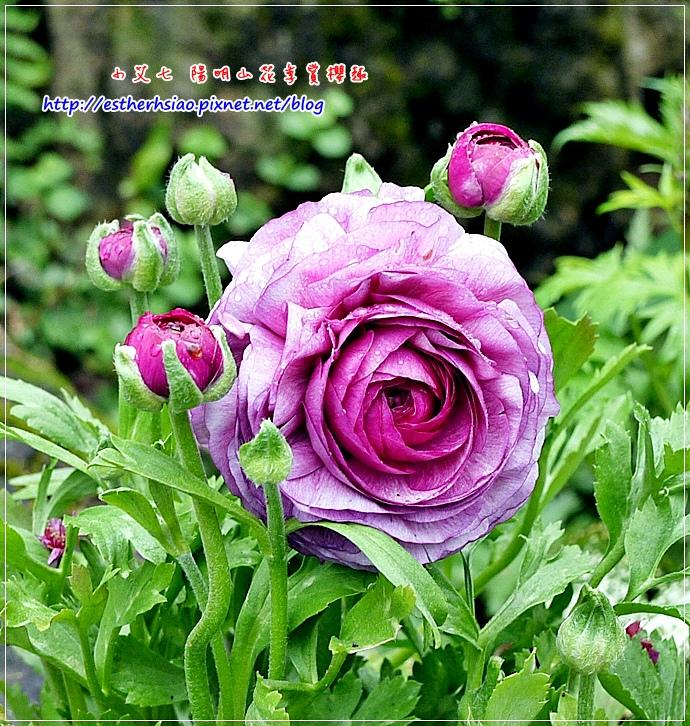 11 陸蓮花