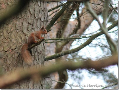 15-Red-Squirrel