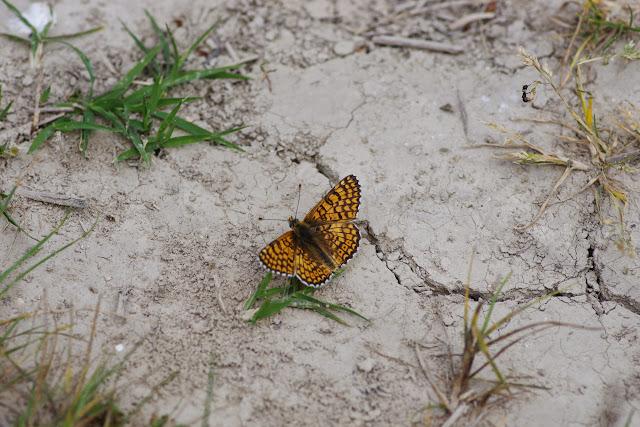 Melitaea cinxia (L., 1758), mâle. Les Hautes-Courennes (550 m). Saint-Martin-de-Castillon (Vaucluse), 7 mai 2014. Photo : J.-M. Gayman