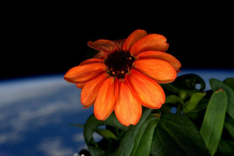 space-zinnia-blooms-3