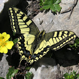 Papilio machaon centralis STAUDINGER, 1886, Anzob Pass, 4000 m, 27 juin 2008. Photo Jean-Marie Desse