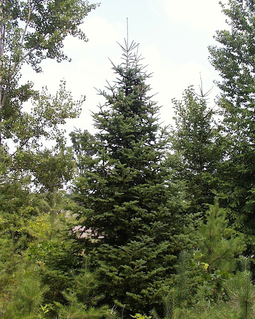 Balsam Fir have a conical shape