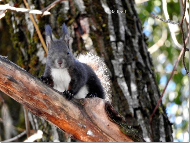zwinkerndes Eichhörnchen