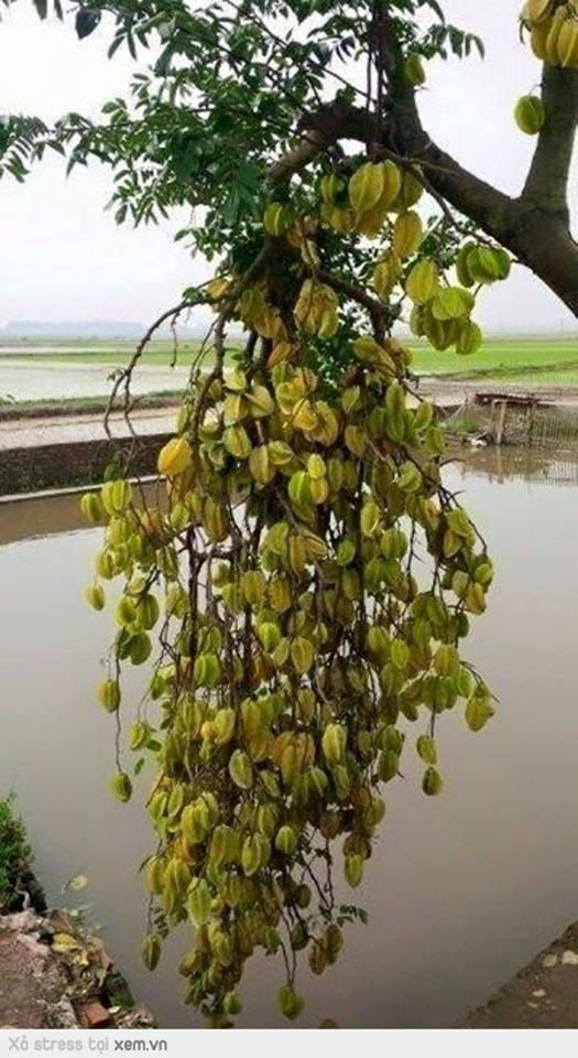 Chùm khế ngọt khủng nhất Việt Nam