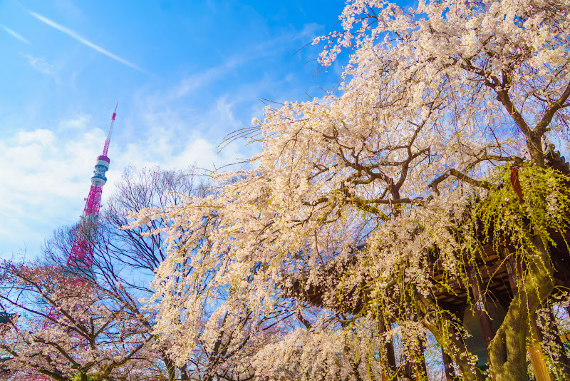 増上寺 桜 写真 20