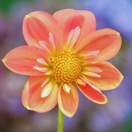 Seven Petal Dahlia by Jim Downey - Flowers Single Flower ( orange, green, blue, dahlia, yellow )