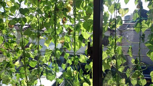 [写真]2Fの窓を覆い隠した西洋アサガオ