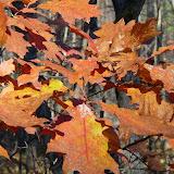 Red Oak leaves in November
