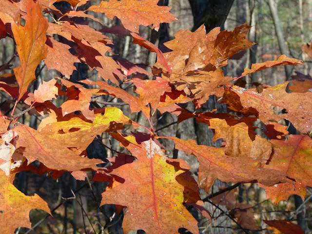 Red Oak leaves in November