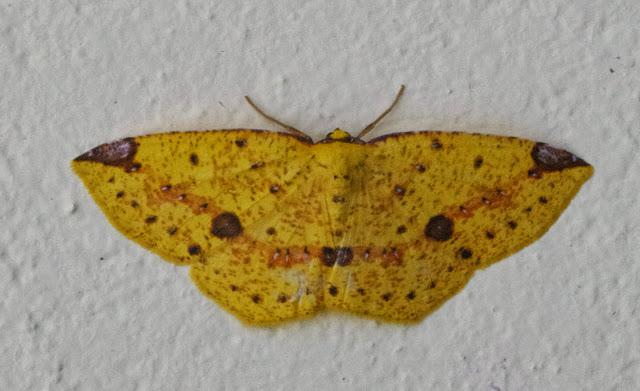 Melinodes (Melinoides) sp. Mount Totumas, 1900 m (Chiriquí, Panamá), 21 octobre 2014. Photo : J.-M. Gayman