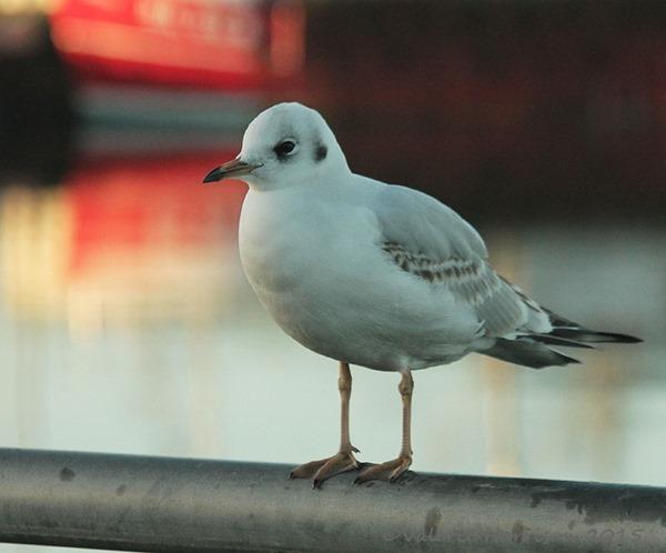 22-gull