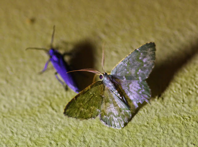 Chloropteryx diluta (Dognin, 1911). Santa Fe (Veraguas, Panamá), 18 octobre 2014. Photo : J.-M. Gayman