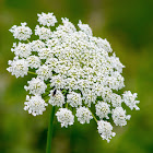 Queen Anne's Lace, wild carrot, bird's nest, bishop's lace