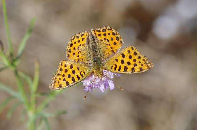 Issoria lathonia (Linnaeus, 1758), femelle. Les Hautes-Courennes, Saint-Martin-de-Castillon (Vaucluse), 16 juin 2015. Photo : J.-M. Gayman
