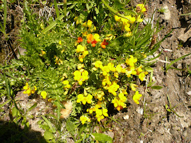 lotier des Alpes Lotus alpinus Fabacees 2.JPG