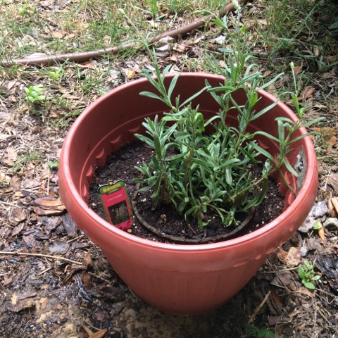 lavender plant, container garden, black girls garden, vegetable garden, herb garden