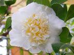 淡黄色 唐子咲き 中輪
