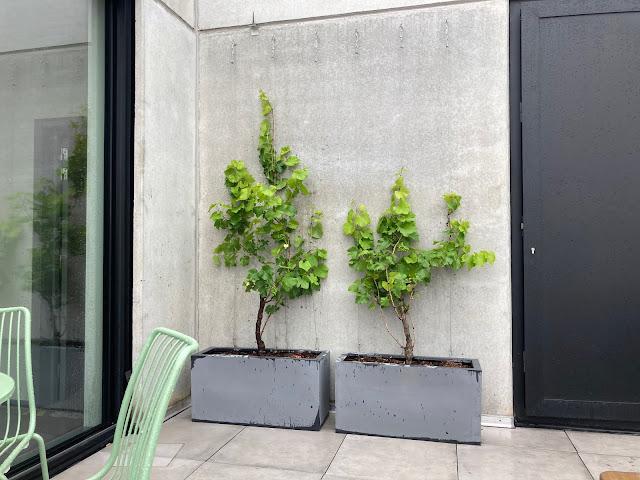 druivenplanten voor buiten op terras kopen of huren soorten met klimrek en plantenbak met poten