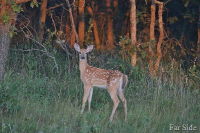 Fawn Two at sunset