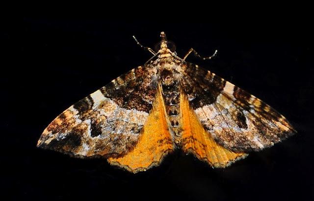 Geometridae : Larentiinae : Xantorhoini : peut-être Chrysolarentia vicissata GUENÉE, 1857. Umina Beach (NSW, Australie), 24 septembre 2011. Photo : Barbara Kedzierski