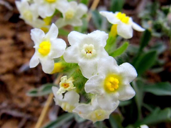 Oreocarya flavoculata (?)