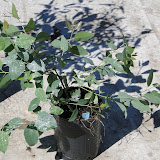 eucaliptus - 0022.JPG