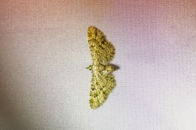 Larentiinae : Eupithecia sp. Mount Totumas, 1900 m (Chiriquí, Panamá), 23 octobre 2014. Photo : J.-M. Gayman