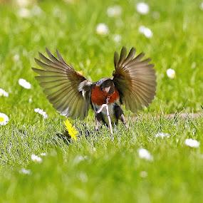 Gotcha! by Dave Roberts - Animals Birds ( robin, birds,  )