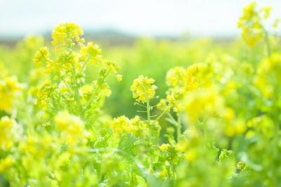 菜の花イメージ画像400×266.jpg