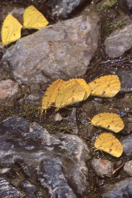 Coliadinae : rassemblement d'Eurema reticulata BUTLER, 1871. Vallée de Kosñipata, nov. 2009. Photo : B. H. Purser