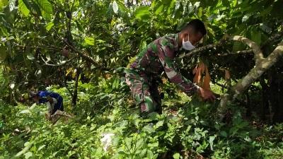 Jalin Keakraban , Satgas Bantu Bersihkan Gulma di Kebun Coklat di TMMD Kodim Tapsel