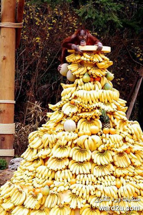 مهرجان بوفيه القرود فى تايلاند