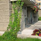 Девичий виноград и корзины - вертикальное озеленение