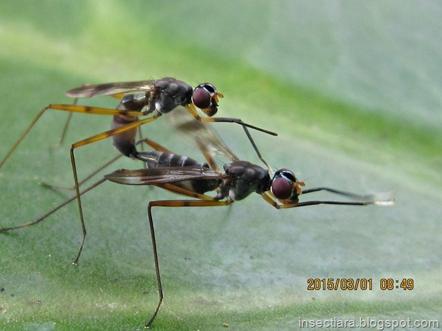 Lalat Micropezidae (stilt-legged flies) kawin 03