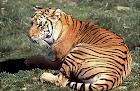 Bengal_Tiger.jpeg