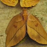 Ceratocampinae : Adeloneivaia boisduvalii (Doumet,1859) femelle. Mount Totumas, 1900 m (Chiriqui, Panamá), 22 octobre 2014. Photo : J.-M. Gayman