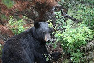 Prvi črni medved