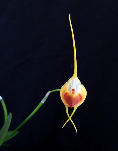 Alaticaulia infracta var. amarella ( ex. Masdevallia infracta var amarella ) DSCN0758