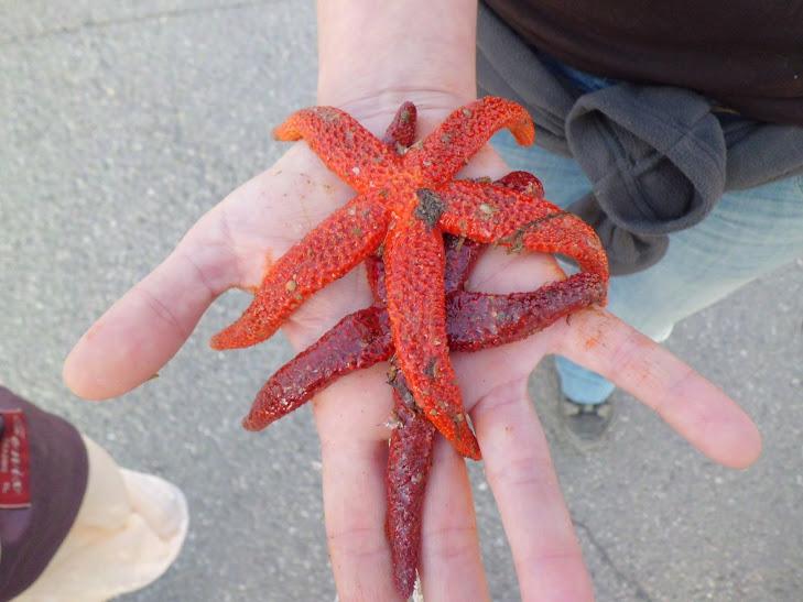 Estrella de mar al port de Vilanova