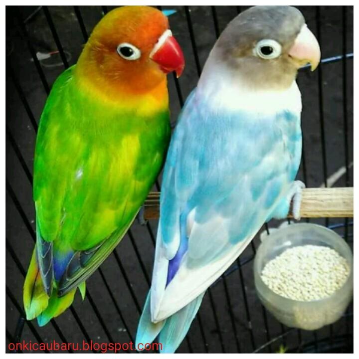 Ciri Ciri Perbedaan Fisik Dan Perilaku Antara Lovebird Lb Jantan Dan Betina On Kicau Baru Okb