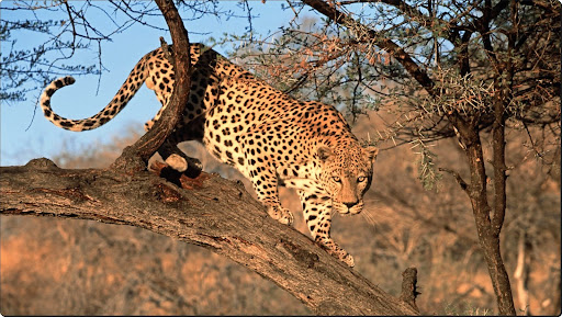 A Decending Leopard, Namibia, Africa.jpg