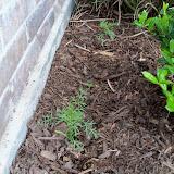 Gardening 2010 - 101_1139.JPG