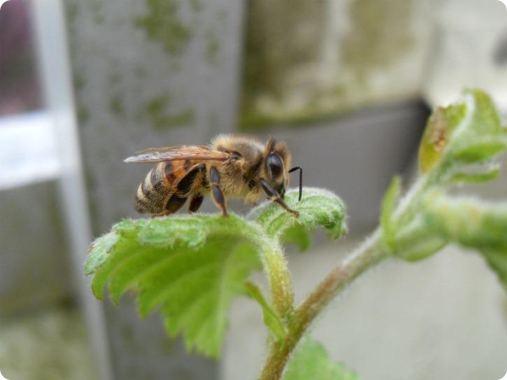 Besøg af en brun bi