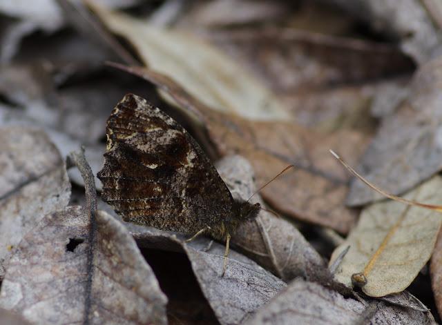 Panyapedaliodes drymaea drymaea (Hewitson, 1858). La Trinidad, 2980 m (Guasca, Cundinamarca, Colombie), 12 novembre 2015. Photo : J.-M. Gayman