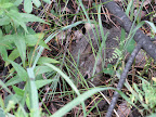 Young Cottontail rabbit along the trail, July 9, 2012 (Photo by C. Miller)