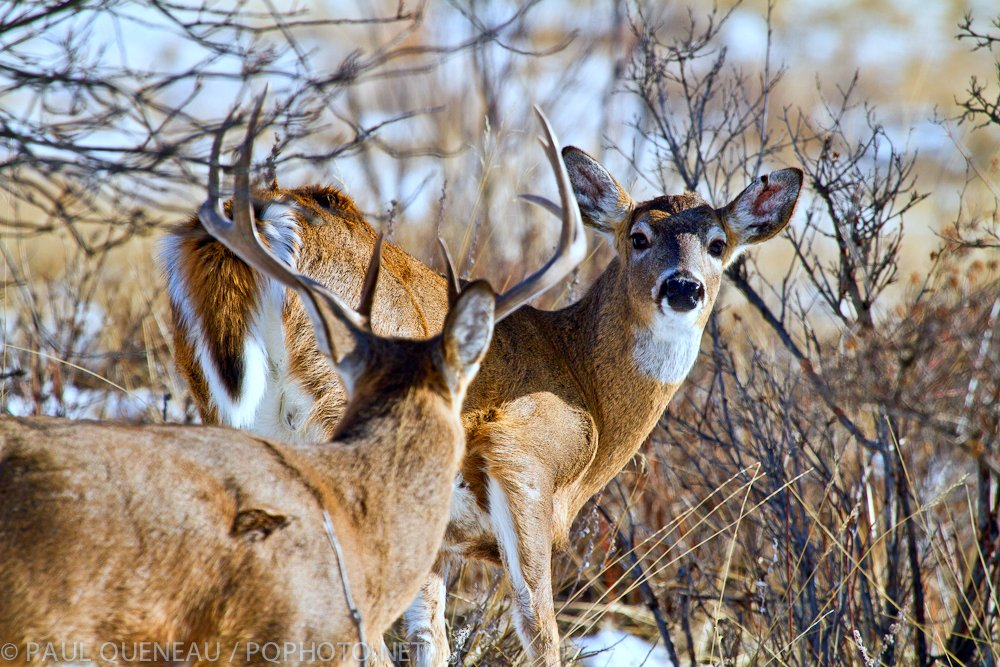 Different bucks shed on different days, which can create some interesting social dynamics for a time as larger bucks temporarily lose their stature.