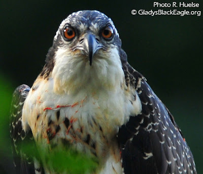 A 2008 osprey from the Marion County hack tower comes eye to eye with the camera lens!