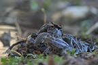 DES GALIPETTES !?     Reproduction de grenouilles rousses près d'une mare aménagée